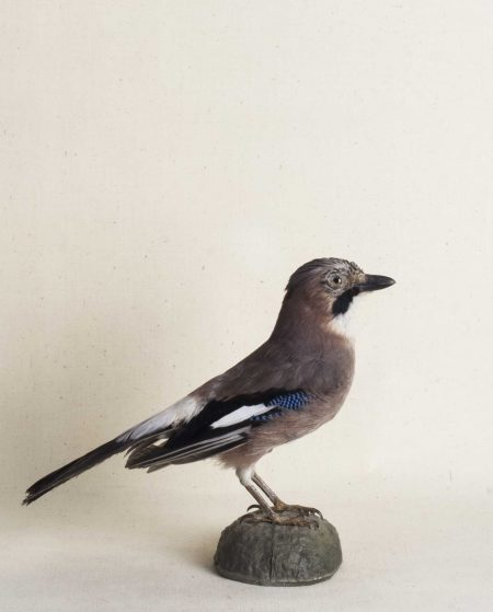 Arrendajo naturalizado. Taxidermia