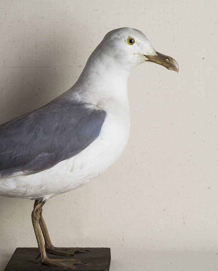 Gaviota naturalizada. Taxidermia