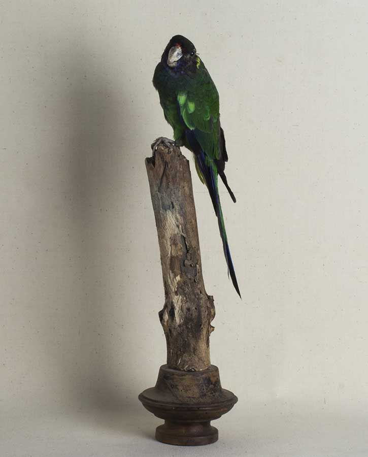 Loro naturalizado. Taxidermia